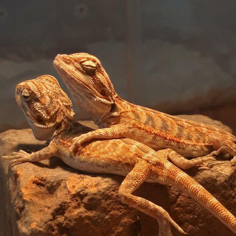 AES49 Gecko